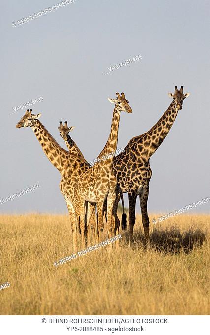 Giraffes (Giraffa camelopardalis) in savannah, Masai Mara, Kenya