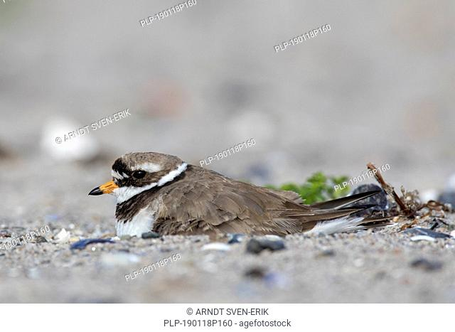 Common ringed plover (Charadrius hiaticula) breeding on nest on the beach in spring