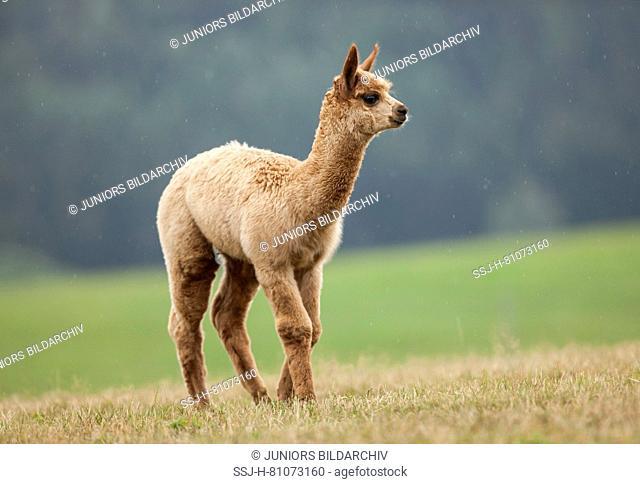 Alpaca (Vicugna pacos). Cria walking on a meadow. Germany
