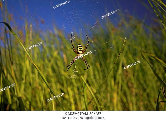 black-and-yellow argiope, black-and-yellow garden spider (Argiope bruennichi), in spiderweb on meadow, Germany, Rhineland-Palatinate