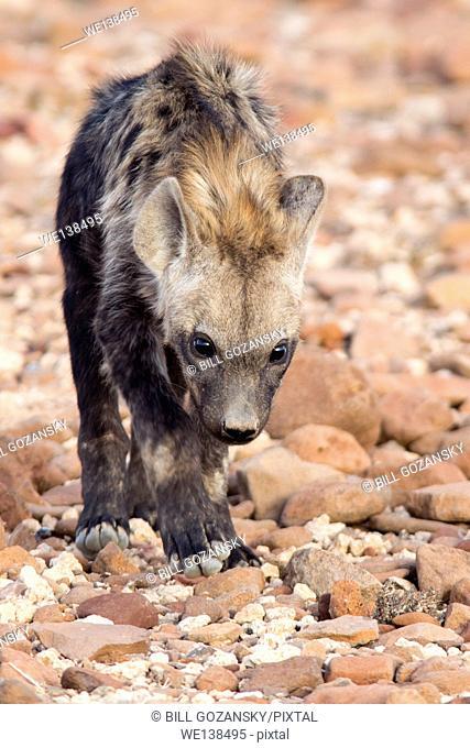 Spotted Hyena (Crocuta crocuta) - Desert Rhino Camp, Namibia, Africa