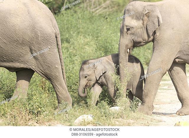 Asia, India, Uttarakhand, Jim Corbett National Park, Asian or Asiatic elephant (Elephas maximus), Mother and baby