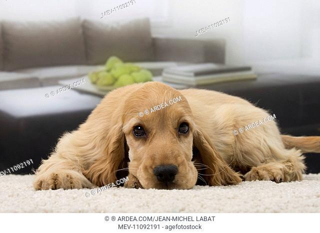 Dog English Cocker Spaniel 3 month old puppy