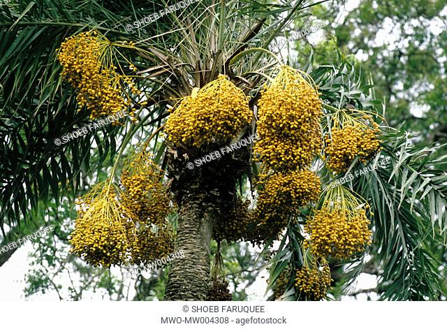 Date trees Bangladesh