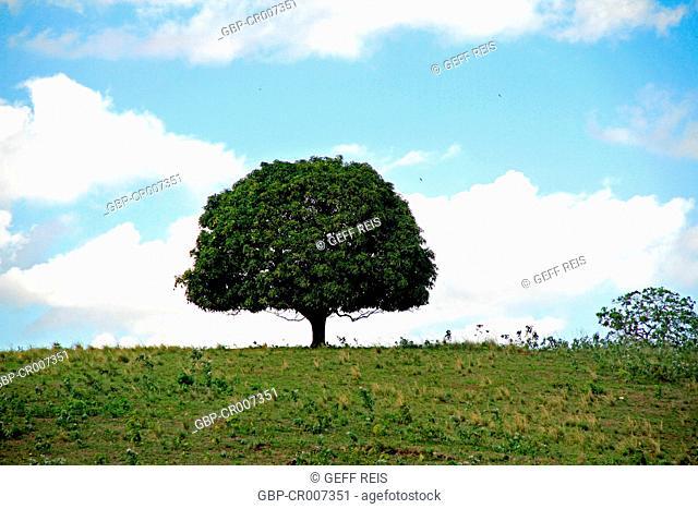 Mango Tree, Paraiba, Brazil