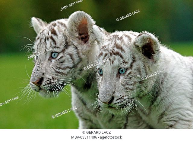White tigers, Panthera tigris, two young animals, outside, portrait