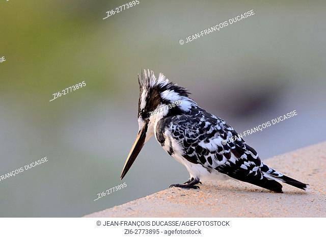 Pied kingfisher (Ceryle rudis), sitting at the edge of a concrete pavement at the Sabie River, Kruger National Park, South Africa, Africa