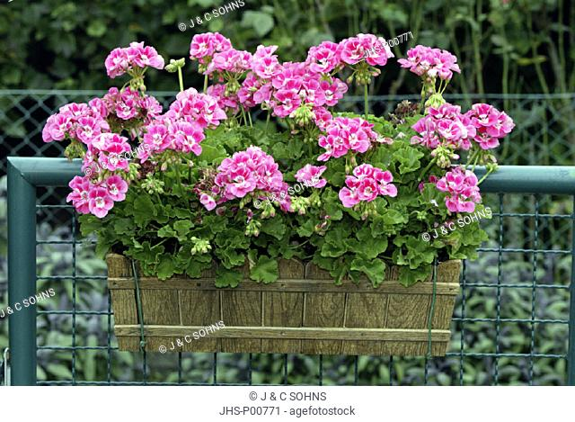 Pelargonium, Pelargonium, Germany, plant in pot bloom