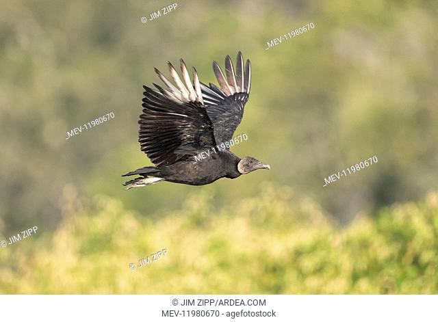 Black Vulture in Myakka State Park in Florida
