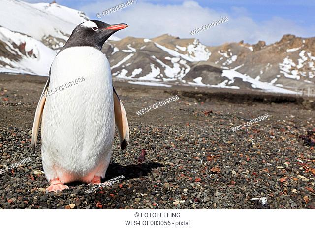South Atlantic Ocean, Antarctic, Antarctic Peninsula, South Shetland, Deception Island, Whalers Bay, Gentoo penguins standing on island