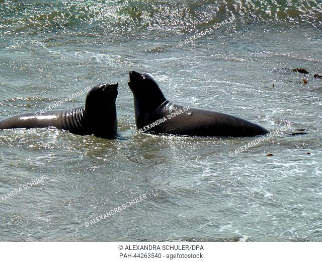Two fighting sea elephants in the water at the beach of Piedras Blancas at the Big Sur, Highway 1 near by San Simeon in California, United States of America