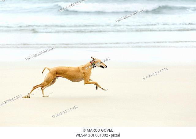 Spain, Llanes, greyhound running on the beach