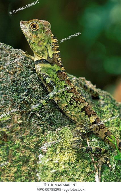 Agamid Lizard (Agamidae) portrait, Gunung Gading National Park, Sarawak, Malaysia