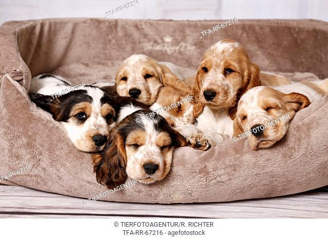 English Cocker Spaniel Puppies