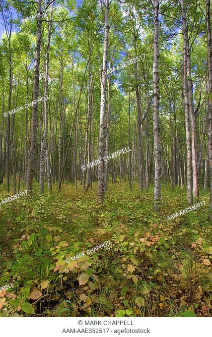 Birch forest floor in Autumn, Central Alaska, USA