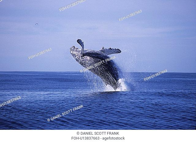 Humpback whale,Megaptera novaeangliae,breaching,Monterey bay,California,USA,Pacific ocean, national marine sanctuary, endangered