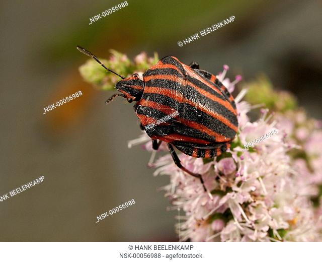 Red And Black Striped Stink Bug (Graphosoma lineatum) climbing over an unidenfied flower, France