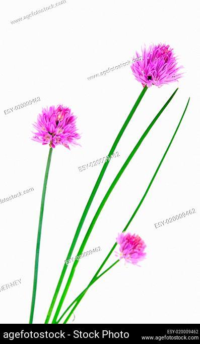 Kräuter Schnittlauch Blüten