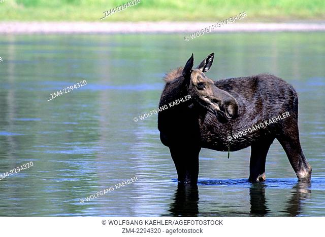 A moose cow is feeding in Henrys Fork at Harriman State Park in the Targhee National Forest in Idaho, USA