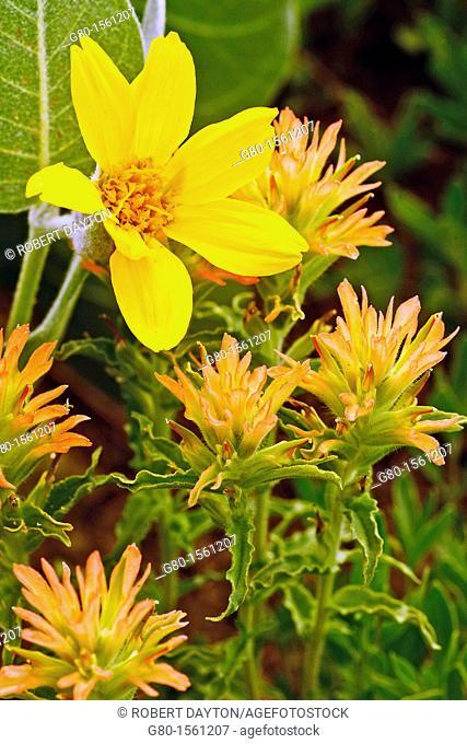 Wildflowers bloom in Carson Pass, California