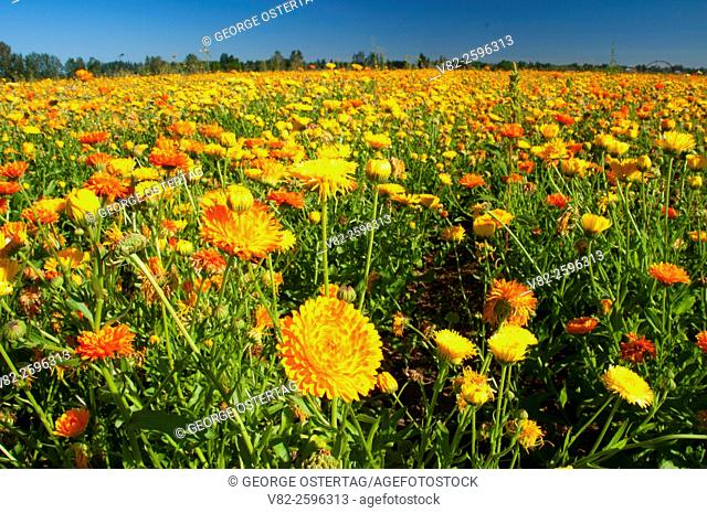 Marigold seed field, Marion County, Oregon