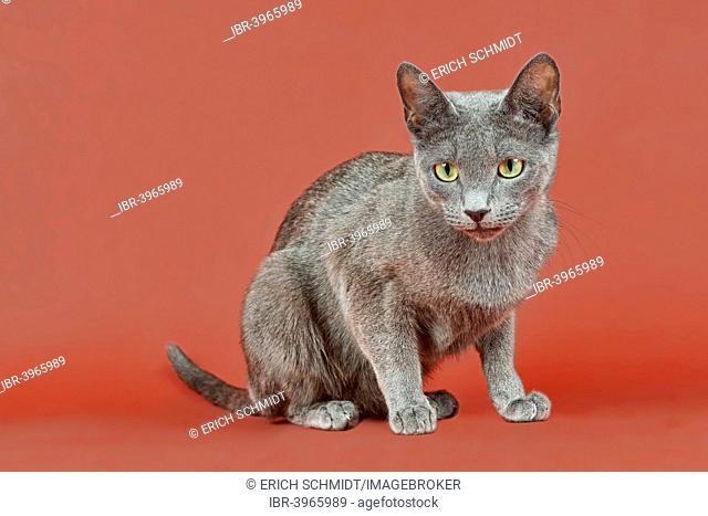 Russian Blue kitten, 12 weeks