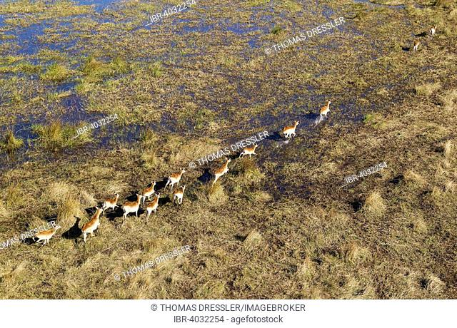 Red Lechwe (Kobus leche leche), running in a freshwater marsh, aerial view, Okavango Delta, Moremi Game Reserve, Botswana