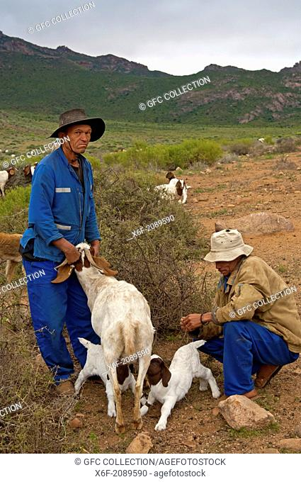 Two Nama goat herders letting Boer goatlings suckle with the female, near Kuboes, Richtersveld, Northern Cape province, South Africa