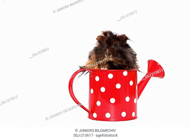 Long-haired Guinea Pig in a small red watering can with white polka dots. Studio picture against a white background. Germany