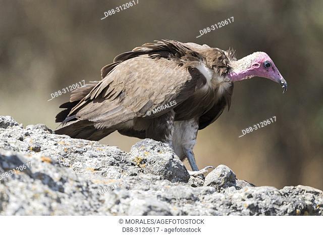 Africa, Ethiopia, Rift Valley, Debre Libanos, Hooded Vulture (Necrosyrtes monachus), on the ground