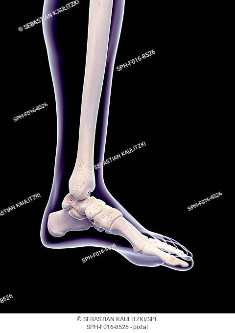 Human foot bones, illustration