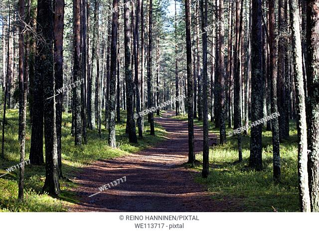 Path in pine  pinus sylvestris  forest, LocationOulu,Finland,Scandinavia,Europe