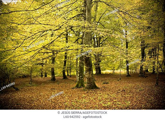 beech trees  Irati Forest  Navarra, Spain