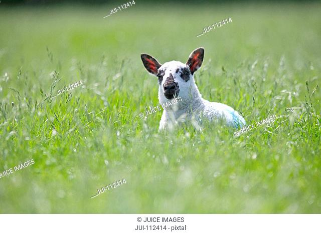 Portrait of curious lamb laying in sunny green spring field