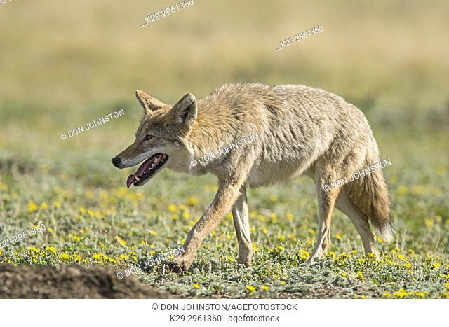 Coyote (Canis latrans) Hunting in a prairie dog colony, Theodore Roosevelt NP (South Unit), North Dakota, USA