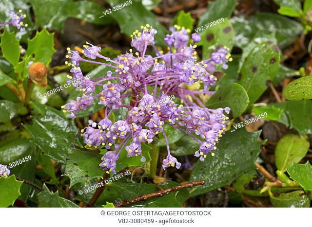 Squaw carpet (Ceanothus prostratus), Rogue Wild and Scenic River, Rogue River National Forest, Rogue-Umpqua National Scenic Byway, Oregon