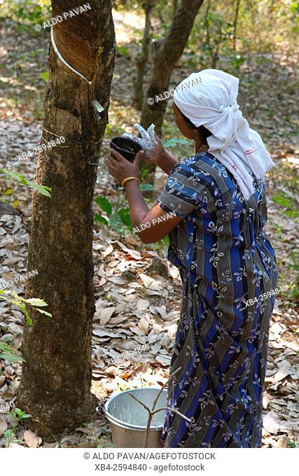 Rubber cultivation, Kannur, Kerala, India
