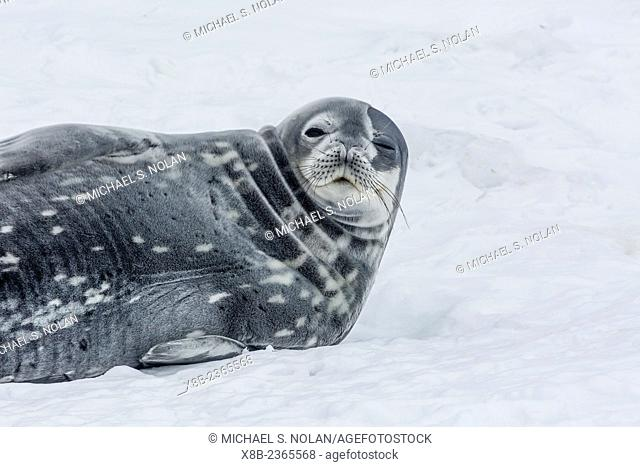 Adult Weddell seal, Leptonychotes weddellii, resting on ice in Mikkelsen Harbor, Trinity Island, Antarctica
