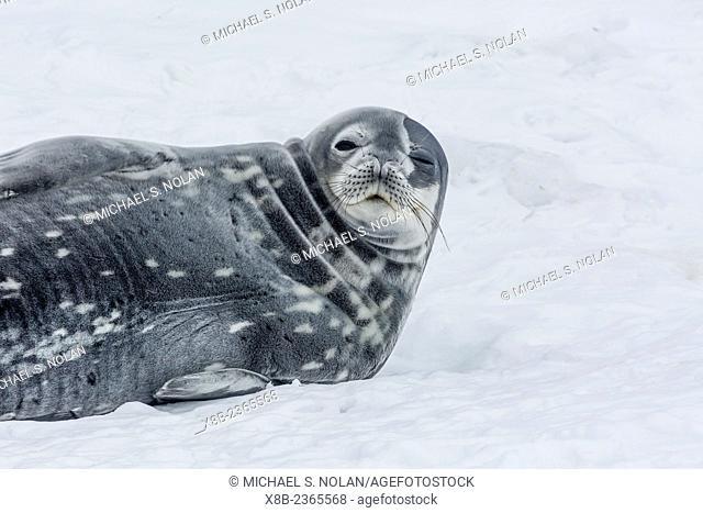 Adult Weddell seal, Leptonychotes weddellii, resting on ice in Mikkelsen Harbor, Trinity Island, Antarctica