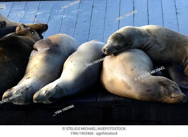 Sea Lions Sleeping at Pier 39 in Fisherman's Wharf San Francisco, California, USA