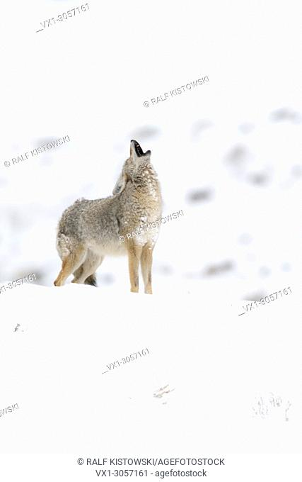 Coyote ( Canis latrans ) in winter, howling, standing in snow on top of a hill, Yellowstone area, Wyoming, USA.
