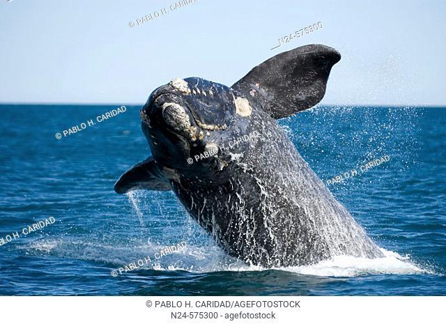 Southern Right Whale (Eubalaena australis). Península Valdés, Patagonia, Argentina