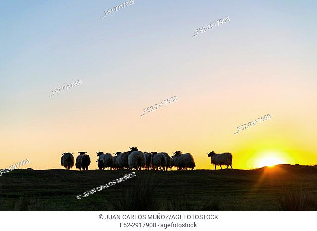 Sheep at sunset, MOC Montaña Oriental Costera, NATURA 2000, Cantabria, Spain, Europe