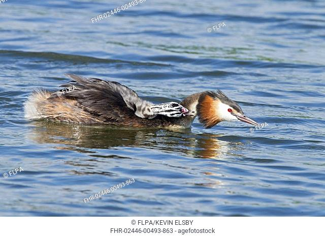 Great Crested Grebe (Podiceps cristatus) adult, breeding plumage, carrying chick on back, swimming, Norfolk, England, July