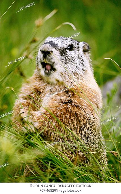 Yellow-bellied Marmot Adult Calling - (Marmota flaviventris) - Wyoming - Found in central to northwestern United States - Lives on rocky slopes or outcrops-on...