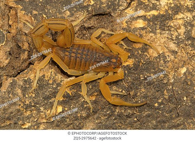 Fat tailed scorpion Hottentotta rugiscutis from type locality, Chengalpettu, Tamil Nadu, India