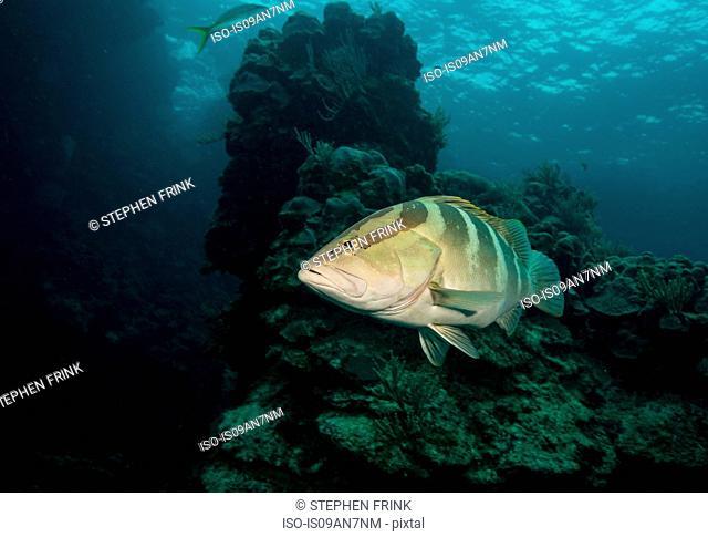 Nassau grouper on coral reef