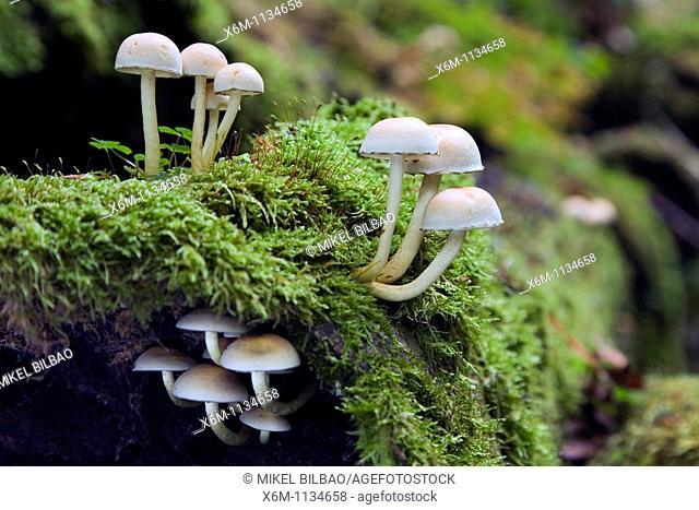 Hifoloma mushrooms Hypholoma capnoides  Saja-Besaya Natural Park  Cantabria, Spain, Europe