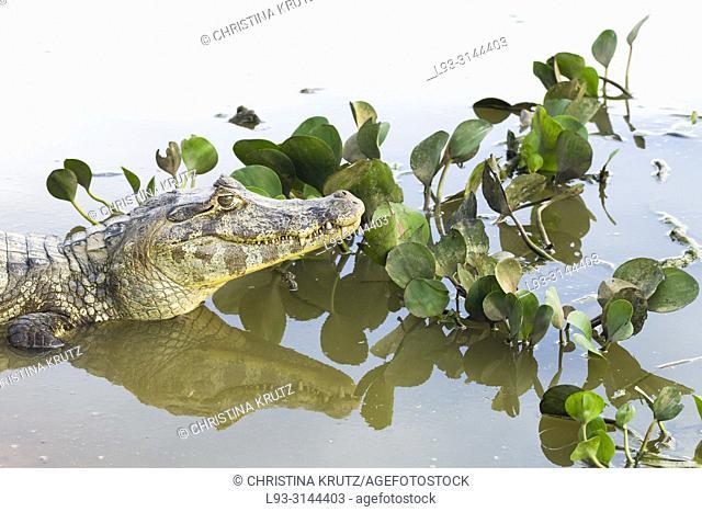 Yacare Caiman, Caiman yacare, and water hyacinths, Pantanal, Mato Grosso, Brazil