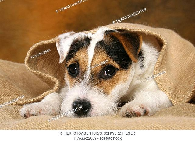 tired young Parson Russell Terrier